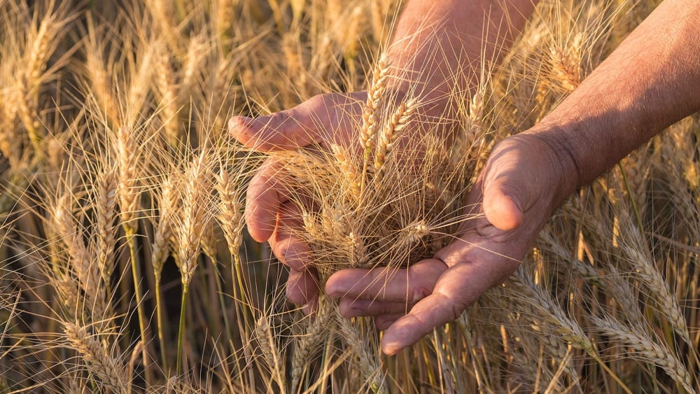 slider_hands_holding_wheat